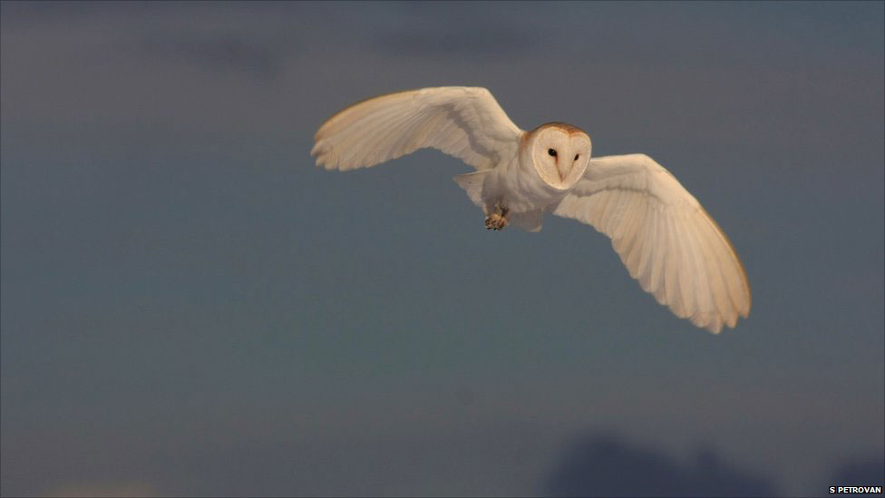 Barn Owl (courtesy of BBC)