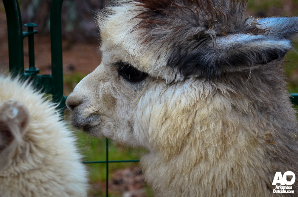 The folks from Heifer Ranch brought some Alpacas to visit with after the run.