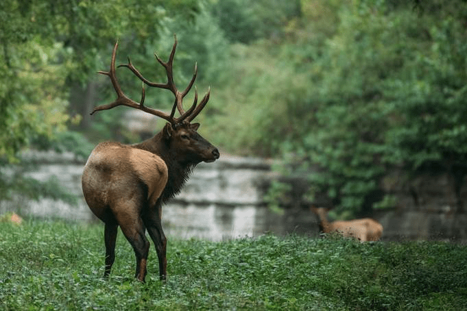 A bull elk stands alert in Boxley Valley Historic District. Photo by Justin Smith